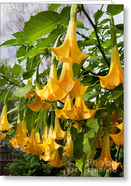 yellow Brugmansia or Angels Trumpets or Datura  Greeting Card
