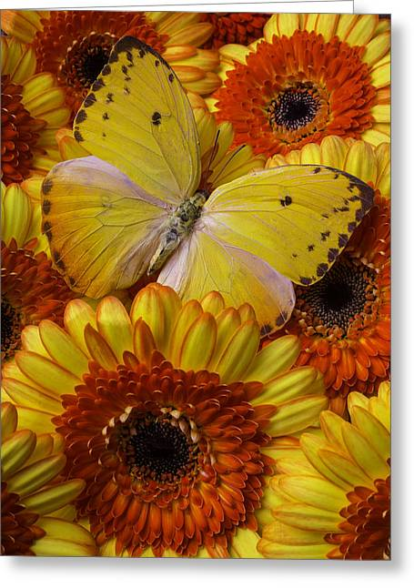 Yellow Butterfly Among Gerberas Greeting Card by Garry Gay