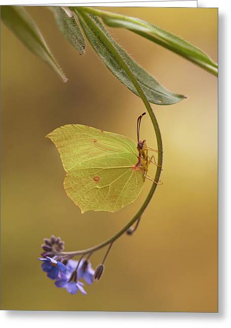 Yellow Butterfly On Blue Forget-me-not Flowers Greeting Card by Jaroslaw Blaminsky