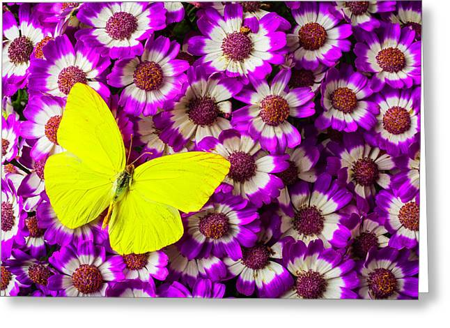 Yellow Butterfly On Pericallis Flowers Greeting Card by Garry Gay