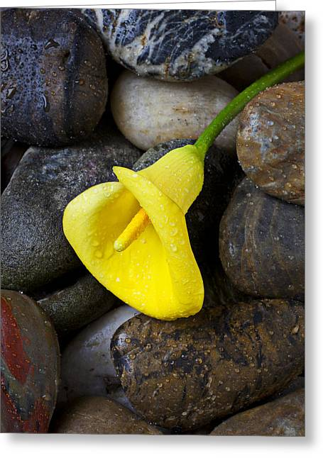 Yellow Calla Lily On Rocks Greeting Card