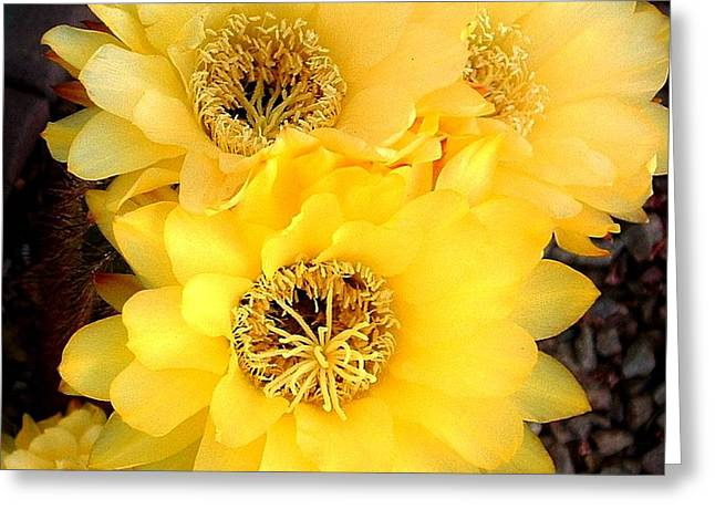 Yellow Cereus Greeting Card
