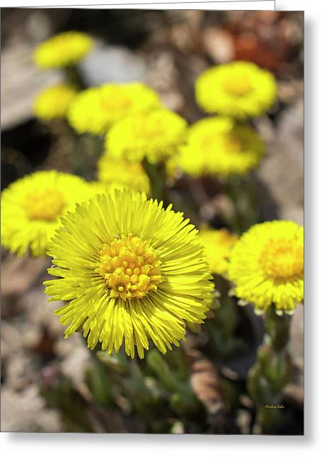 Greeting Card featuring the photograph Yellow Coltsfoot Flowers by Christina Rollo