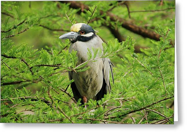 Yellow-crowned Night Heron Greeting Card by Art Block Collections