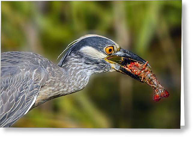 Yellow Crowned Night Heron Goes Crawfishing Greeting Card by Bonnie Barry