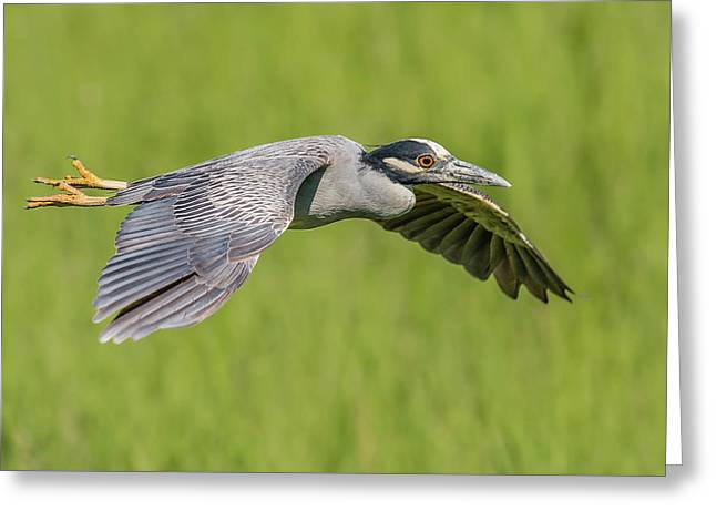 Yellow-crowned Night-heron In Flight Greeting Card by Morris Finkelstein