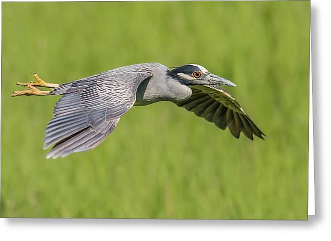 Yellow-crowned Night-heron In Flight Greeting Card