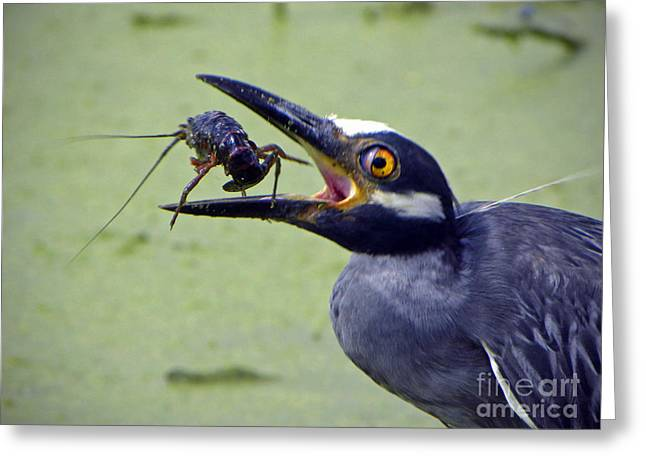 Greeting Card featuring the photograph Yellow Crowned Night Heron  by Savannah Gibbs