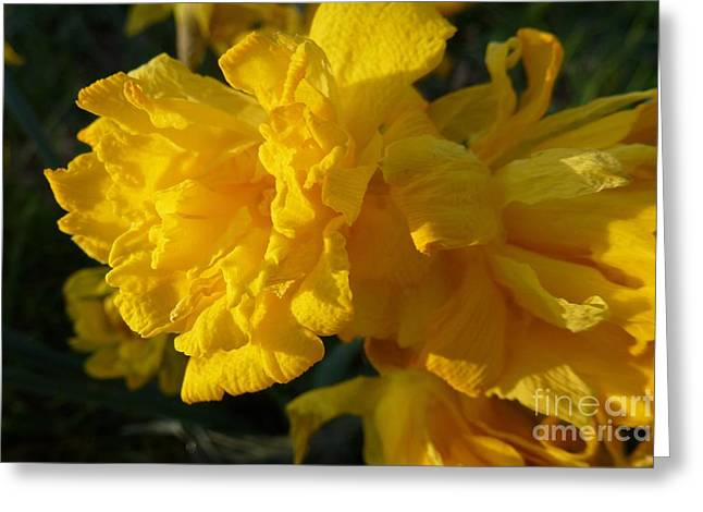 Yellow Daffodils Greeting Card by Jean Bernard Roussilhe