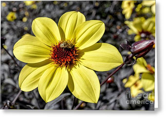 Yellow Dahlia Greeting Card by Keith Ducker