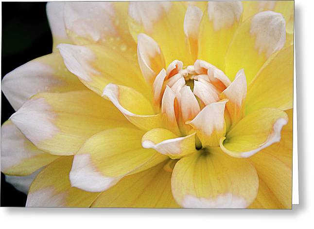 Greeting Card featuring the photograph Yellow Dahlia White Tipped by Julie Palencia