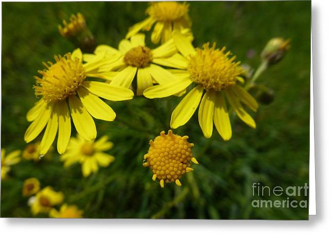 Yellow Daisies 2 Greeting Card