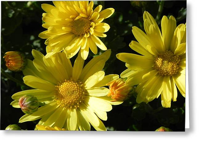 Yellow Daisies Greeting Card by John Parry