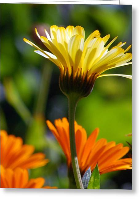 Yellow Daisy Greeting Card by Amy Fose