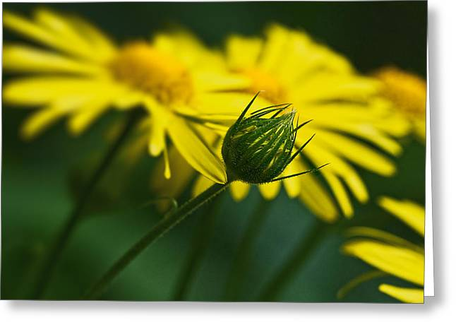 Yellow Daisy Bud Greeting Card