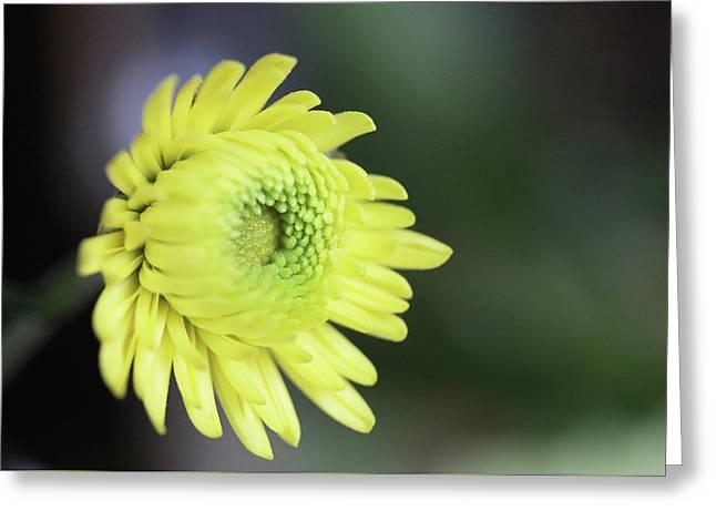 Yellow Daisy Flower Greeting Card
