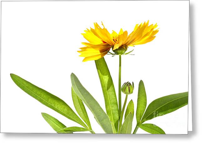 Yellow Daisy Isolated Against White Greeting Card by Sandra Cunningham