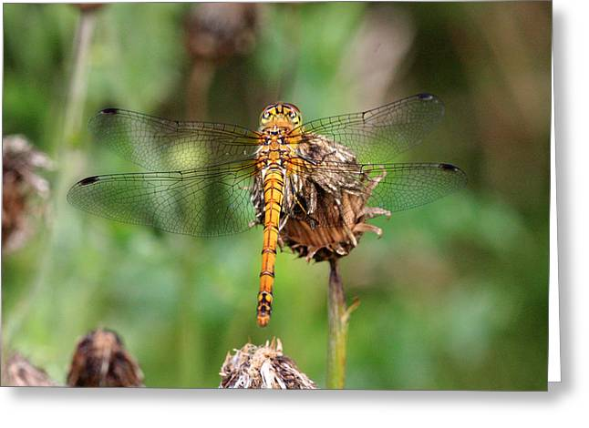 yellow Dragonfly Greeting Card by Pierre Leclerc Photography