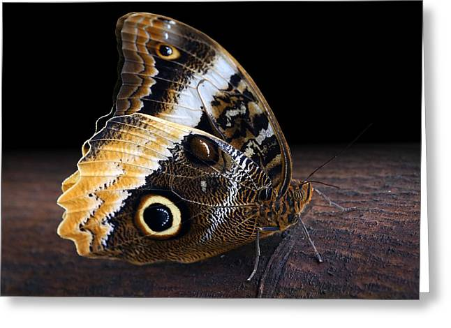 Yellow-edged Giant Owl Butterfly Greeting Card