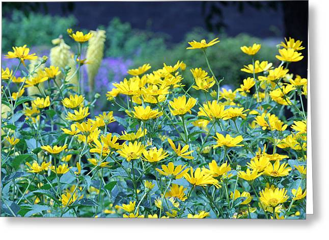 Yellow Everywhere Greeting Card by Becky Lodes