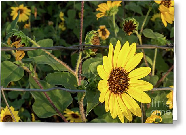 Yellow Flower Escaping From A Barb Wire Fence Greeting Card