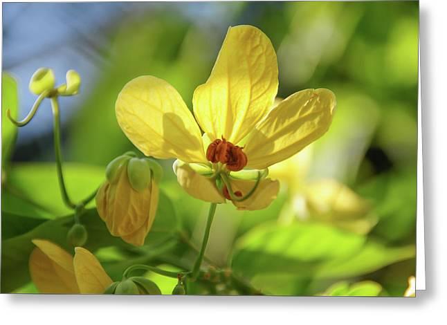 Yellow Flower Of Cassia Glauca Greeting Card by Jenny Rainbow