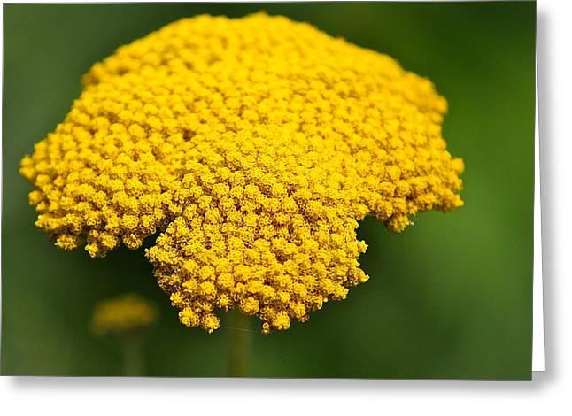 Yellow Flower Greeting Card by Robert Joseph