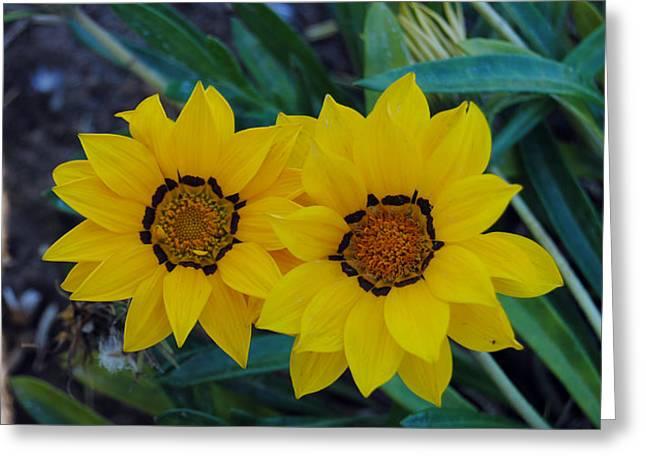 Gazania Rigens - Treasure Flower Greeting Card