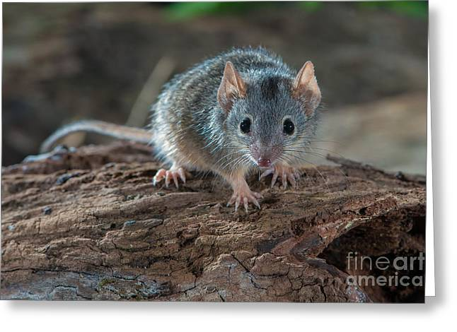 Yellow-footed Antechinus Greeting Card by B.G. Thomson