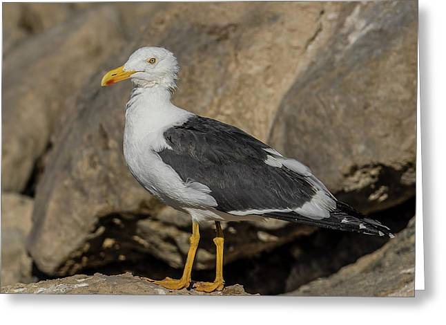 Yellow-footed Gull Looking Greeting Card by Morris Finkelstein
