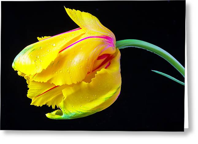 Yellow French Tulip Greeting Card by Garry Gay