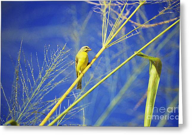 Yellow Fronted Canary Greeting Card by Bob Abraham - Printscapes