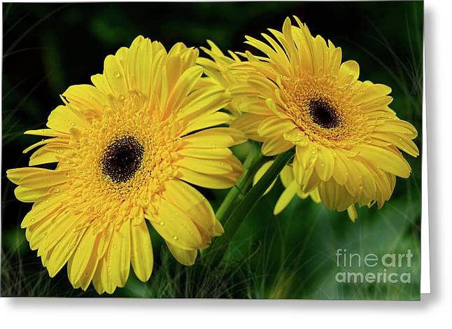 Greeting Card featuring the photograph Yellow Gerbera Daisies By Kaye Menner by Kaye Menner