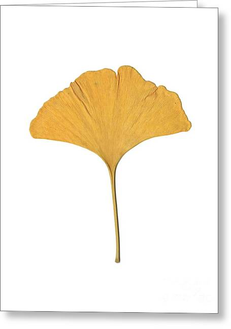 Yellow Ginkgo Leaf Greeting Card