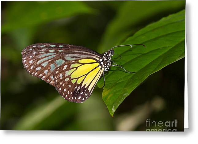 Yellow Glassy Tiger Butterfly Greeting Card