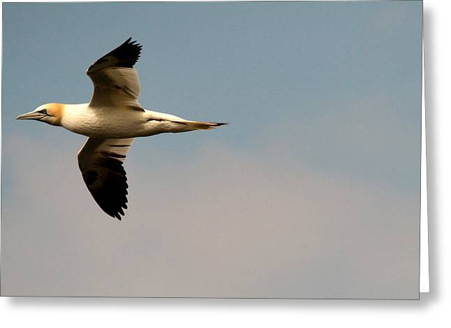 Yellow Headed Gull In Flight Greeting Card