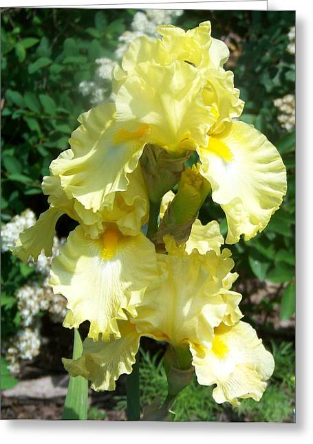 Yellow Iris At Fellows Riverside Garden Greeting Card by Lois Mountz
