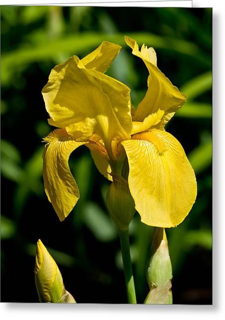 Yellow Iris Greeting Card by Edward Myers
