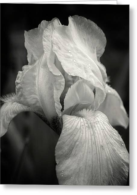 Yellow Iris In Black And White Greeting Card by Chrystal Mimbs