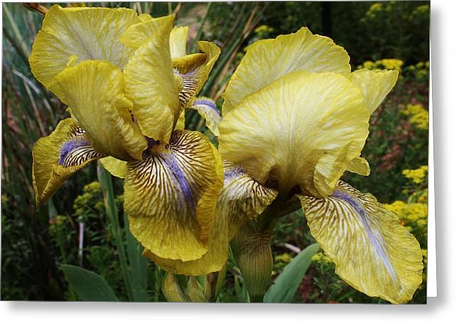 Yellow Irises Greeting Card by Bruce Bley