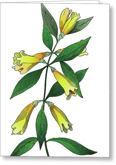 Yellow Jessamine Greeting Card by Ziva