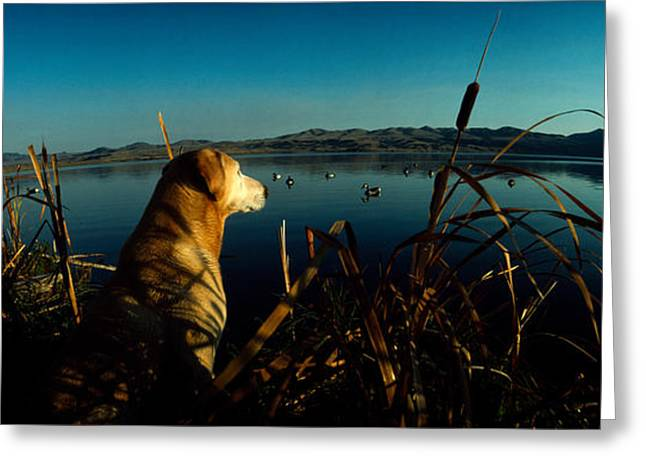 Yellow Labrador Retriever Greeting Card by Panoramic Images