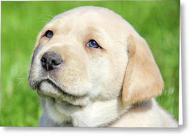 Greeting Card featuring the photograph Yellow Labrador Retriever Puppy Gaze by Jennie Marie Schell