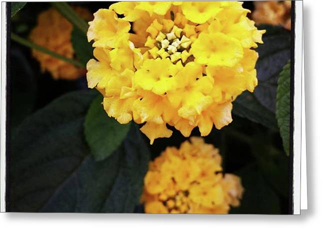 Greeting Card featuring the photograph Yellow Lantanas Along The Scenic Drive by Mr Photojimsf