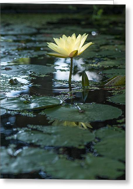 Yellow Lilly Tranquility Greeting Card