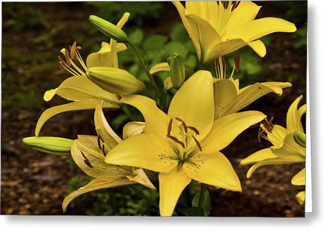 Merriment Greeting Cards - Yellow Lily Cluster Greeting Card by Douglas Barnett