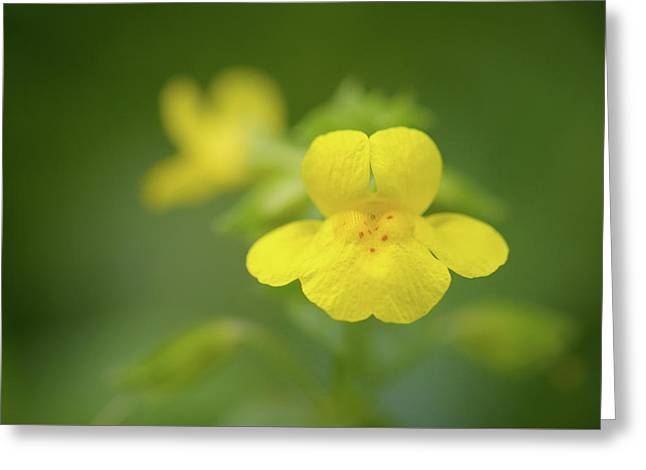 Yellow Monkey Flower Greeting Card by Alexander Kunz
