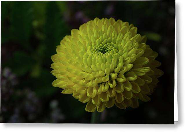 Yellow Mum Greeting Card by Denise McKay
