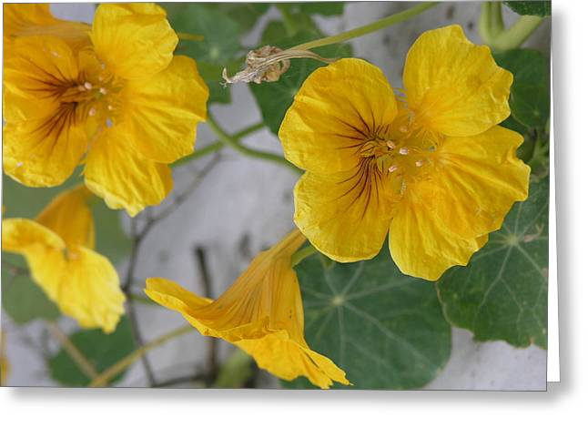 Yellow Nasturtium Greeting Card
