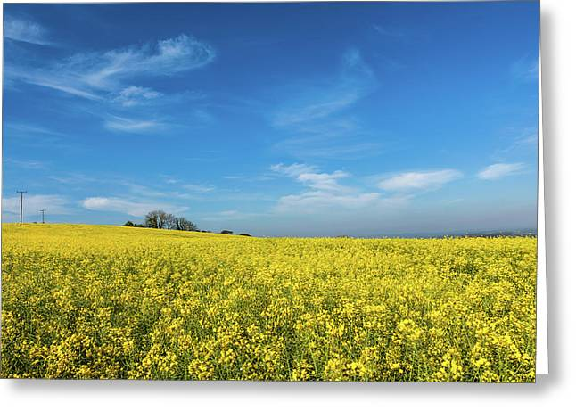 Yellow Oilseed Rape With Vivd Blue Sky Greeting Card